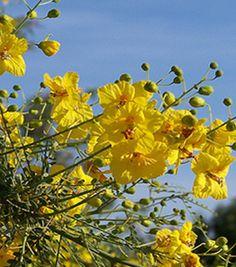 Palo Verde 'Desert Museum'   Sierra Vista Growers Drought Tolerant Trees, Us Deserts, Sierra Vista, Desert Oasis, Arizona, Palette, Museum, Yard, Landscape