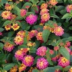 """sunrise rose"" lantana - great heat tolerance!"
