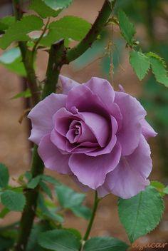 ~Hybrid Tea Rose: Rosa 'Blue Time' (Japan, 2004)