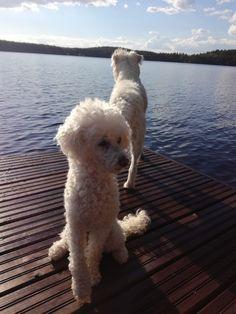 Friends, Toy Poodle Wilma, Parson Russel Vatanen