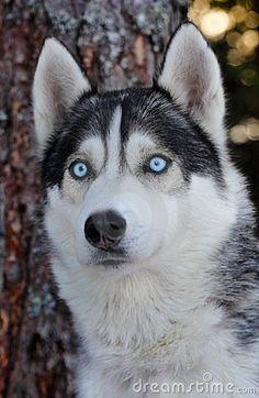 Husky with bright blue eyes by Mikael Damkier via dreamtime