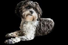 Shipoo Rassebeschreibung, beliebte Hunderasse, Hunderassen für Familien, Hunderasse die sehr beliebt sind in Deutschland und Österreich Rhodesian Ridgeback, Jack Russell Terrier, Yorkshire Terrier, Labrador Retriever, Labradoodle, Australian Shepherd, Chihuahua, Owl, Bird
