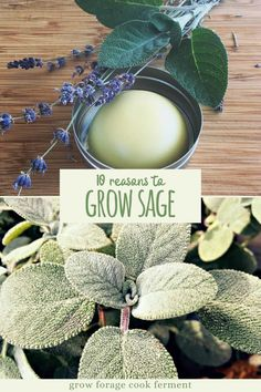 Here are 10 reasons why you should be growing sage in your garden this season for your health and for food! Sage is an awesome herb you should be growing for many reasons! Let's explore some of the many ways growing sage can be beneficial for your garden, your palate, and your health. Healing Herbs, Medicinal Plants, Permaculture, Sage Herb, Starting A Garden, Gardening For Beginners, Gardening Hacks, Growing Herbs, Outdoor Plants