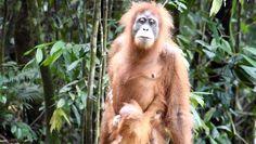 ° Das Jungle-Trekking in Bukit Lawang war wohl eines der schönsten Erlebnisse, das ich erleben durfte ❤️ ° The jungle trek in Bukit Lawang was probably one of the most beautiful experiences that I was able to experience ❤️ Orang Utan, Trekking, Most Beautiful, War, Animals, Pandas, Baby Cubs, Indonesia, Round Trip