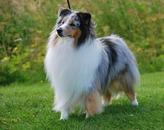 """The Shetland Sheepdog, or """"Sheltie"""" as it is commonly called, is a rough-coated, longhaired working dog, he is alert, intensely loyal and highly trainable and is known as a devoted, docile dog with a keen sense of intelligence and understanding. Agile and sturdy, the Sheltie is one of the most successful obedience breeds, but also excels in agility, herding and conformation."""