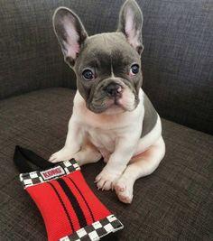 PEPE, the French Bulldog Puppy,   @pepe_legraham by @daily_frenchie  #frenchbulldog