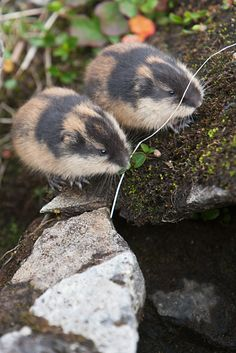 two Norway lemmings