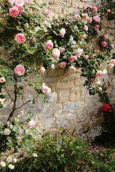 plante grimpante persistant, mur avec fleurs muraux