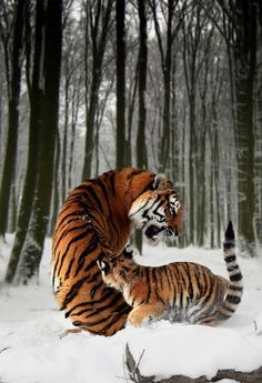 #Tigers in the #snow