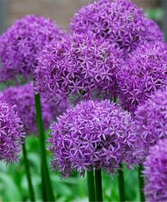 Allium aflatunense - Allium - Fall 2014 Flower Bulbs