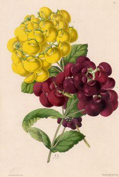Antique Botanical Print, hand coloured, James Andrews 1865