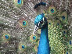Google Image Result for http://www.funbaz.com/wallpapers/birds/peacock/downloads/head-peacock-934.jpg