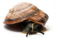 Pleurodonte marginella semiaperta Cuba adult