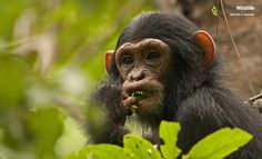 Chimpanzee - Mahale mountains