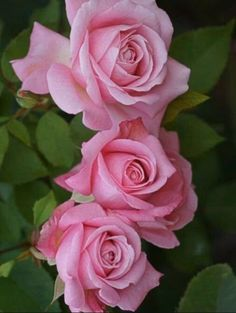 Captivating Why Rose Gardening Is So Addictive Ideas. Stupefying Why Rose Gardening Is So Addictive Ideas. Beautiful Rose Flowers, Love Rose, All Flowers, Amazing Flowers, My Flower, Cactus Flower, Exotic Flowers, Purple Flowers, Colorful Roses