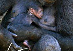 A western lowland gorilla named Mbeli holds her baby in their enclosure at Sydney's Taronga zoo Photograph: David Gray/Reuters