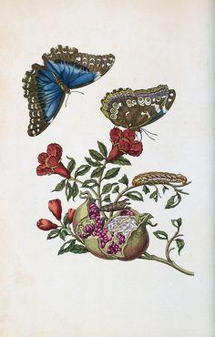 Maria Sibylla Merian, Metamorphosis Insectorum Surinamensium. Amsterdam, 1705 (Faksimile 1975). Granatapfel mit Tagfaltern