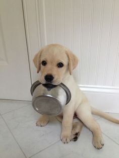 This cute Lab puppy is trying to give you a hint.