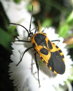An online resource devoted to North American insects, spiders and their kin, offering identification, images, and information. Insect Photos, Crabs, Snails, Bugs, Insects, Creatures, Flowers, Animals, Animales