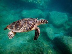 Hawksbill Turtle shot while #snorkeling off #beautiful #StKitts