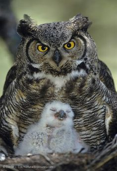 Great Horned Owl and chick by +Daniel J. Cox/Natural Exposures, Inc. www.BransonVacationRentalCabins.com
