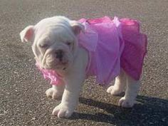 Bulldog Puppy Ballerina