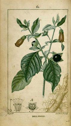 img/dessins-gravures de plantes medicinales/belladone.jpg