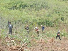 Vietnam, on a 3 day Easy Rider tour Tapioca farm...yes got to pull up a tree and cut the root