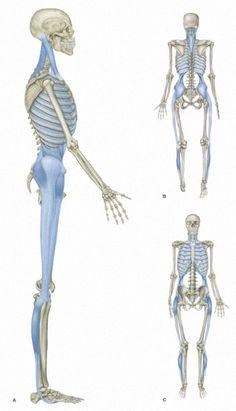 Myofascial Chain: Lateral Line Massage Therapy Las Vegas Knots Unwound -www. Muscle Anatomy, Body Anatomy, Human Anatomy, Glute Medius, Sports Therapy, Massage Techniques, Sport Fitness, Anatomy And Physiology, Massage Therapy