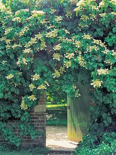 Jasmine The unmistakable scent of their starry flowers makes jasmine a popular choice, particularly for growing on pergolas over seating areas.