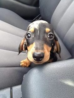 Dachshund puppy eyes are one of the pure forces of good left in this cruel world. Dachshund Funny, Dachshund Puppies, Dachshund Love, Daschund, Dapple Dachshund, Tiny Puppies, Cute Puppies, Cute Dogs, Puppy Day