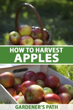When apple harvest time approaches, you'll pick the best quality fruit if you know how to judge your crop's maturity. There are a number of factors that will help you estimate when your apples will be ripe for picking. Learn when and how to harvest your apples on Gardener's Path. #apple #harvest #gardenerspath
