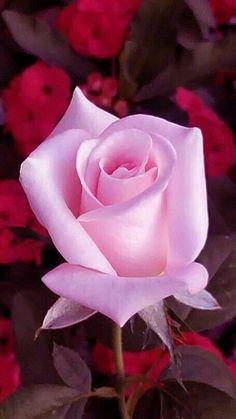 Beautiful Flowers Wallpapers, Beautiful Rose Flowers, Blush Flowers, Flowers Nature, Exotic Flowers, Amazing Flowers, Pink Roses, Pinterest Instagram, Hybrid Tea Roses