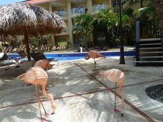 Flamingos exploring poolside at Dreams Punta Cana