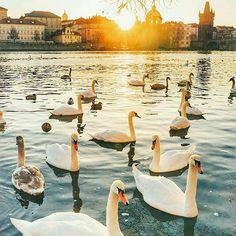 Prague, Czech Republic... Photo from @vetrana! Do you know that swans have only one partner for their whole life? If their partner dies, they could pass away from broken heart! ➖➖➖➖➖➖➖➖➖➖➖➖➖ #prague #praha #praga #prag #praguecastle #vltava #praguestagram #oldtownsquare #instaprague #praguecity #praguelife #igersprague #vscoprague #pragueworld #ins...