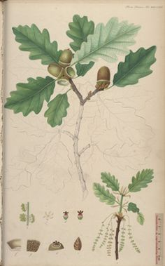 "Sessile Oak, Plate no. 2667, Quercus petraea L. To insure that Flora Danica was distributed throughout the kingdom a ""considerable number of copies"" were sent to the clergy, so that each diocese received several copies."