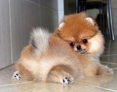 Pomeranian tease