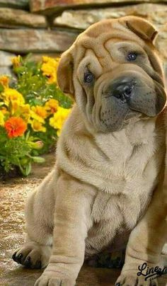 If you've been looking for an English Bulldog to brag about you've found us.English Bulldog puppies from a breeder with an excellent reputation. Not your average Bulldog puppies. Cute Dogs And Puppies, I Love Dogs, Pet Dogs, Dog Cat, Doggies, Cute Baby Animals, Animals And Pets, Funny Animals, Cachorros Shar Pei