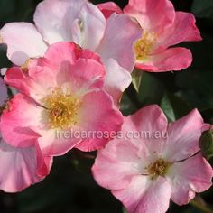 Sparrieshoop (Rose):- A tall bushy plant with elegant blooms. Lovely old rose!