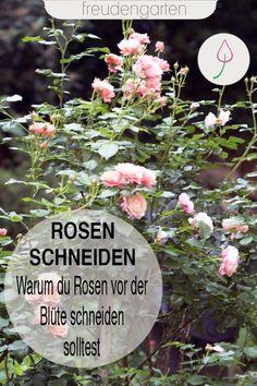 Tipps zum Schneiden von Rosen im Sommer. Wir verraten, wie du die Blühpause bei Rosen verkürzst und die Pflanzen buschig wachsen. #Rosen #freudengarten