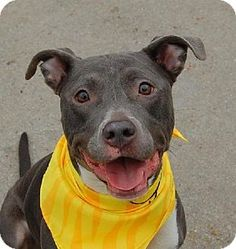 Brooklyn, NY - Pit Bull Terrier Mix. Meet PEPPER, a dog for adoption. http://www.adoptapet.com/pet/12163080-brooklyn-new-york-pit-bull-terrier-mix