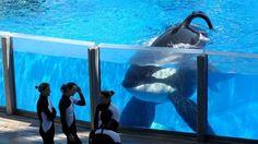 Tilikum SeaWorld orca from Blackfish documentary dies - Telegraph.co.uk