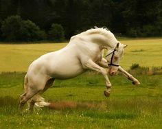 Cremello Czech warmblood stallion, McJonnas, used in the Scottish Sport Horse breeding program. photo: Ree.