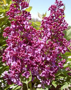 Klehm's Song Sparrow Farm and Nursery--Woody Plants--Syringa vulgaris 'Monge'