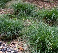 Zone 3. Carex divulsa That's fine. Probably a good filler?