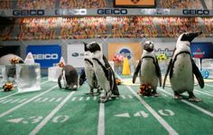 This year's Puppy Bowl cheerleaders are PENGUINS!! Animal Planet this Sunday during Super Bowl XLVII