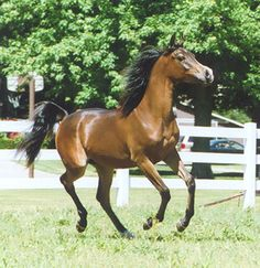 Marikaah -  2006 black bay filly (Presumido Feisul x TF Quisara)