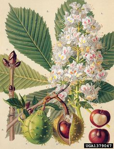Aesculus hippocastanum ⚪ Hästkastanj ⚪ common horse chestnut, Aesculus hippocastanum (Sapindales: Hippocastanaceae) - 1379047