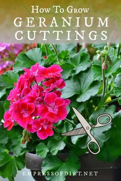 (Pelargoniums) How to take cuttings from geraniums to grow new plants from spring to fall.How to take cuttings from geraniums to grow new plants from spring to fall. Propagating Geraniums, Growing Geraniums, Plant Cuttings, Growing Flowers, Growing Plants, Planting Flowers, How To Grow Geraniums, Growing Vegetables, Caring For Geraniums
