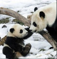 I've always loved pandas. My special teddy was a panda when I was young. It disappeared somewhere in time. I don't even have a picture of it - other than in my head! Baby Panda Pictures, Animal Pictures, Bear Pictures, Panda Images, Animals And Pets, Funny Animals, Cute Animals, Wild Animals, Pandas Baby